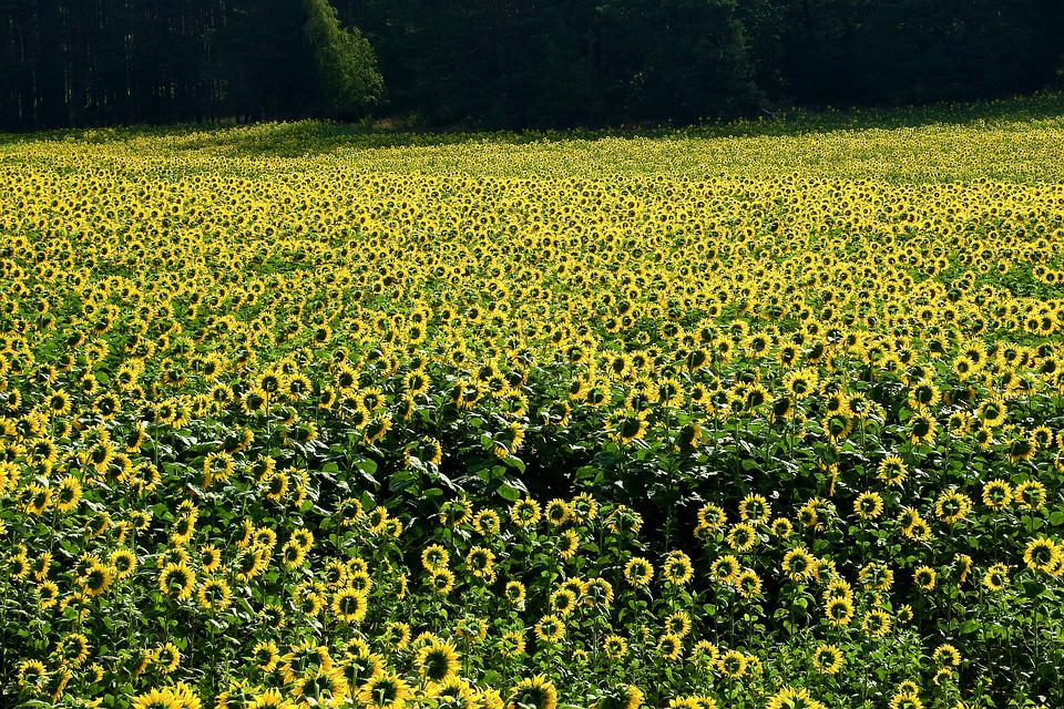 Sunflowers, Field, Plantation, Agriculture, Cultivation
