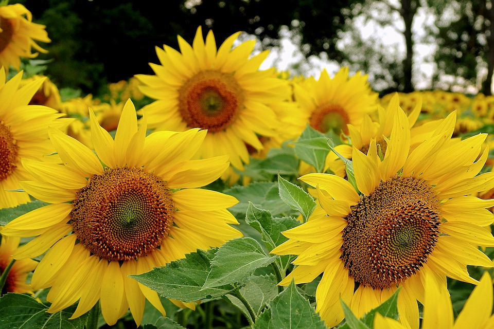 Sunflowers, Field, Agriculture, Summer, Flowers