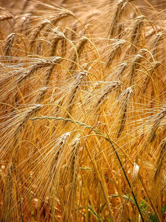 Grain, Cereals, Harvest, Ripe, Agriculture, Cornfield