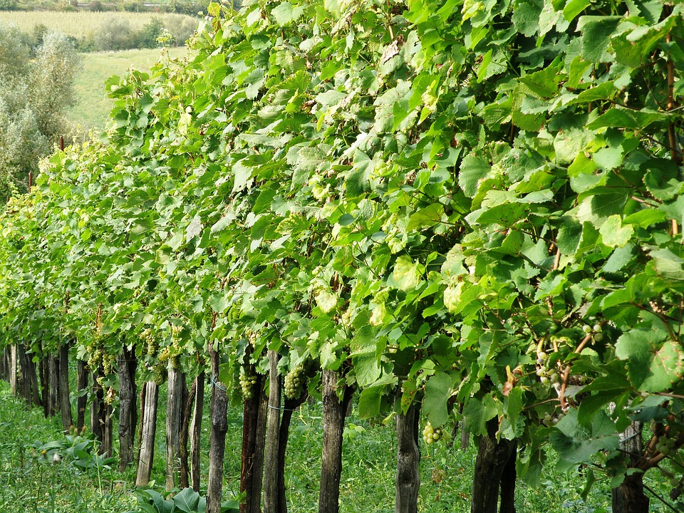 Vineyard, Wine, Grapes, Vine, Agriculture, Growing