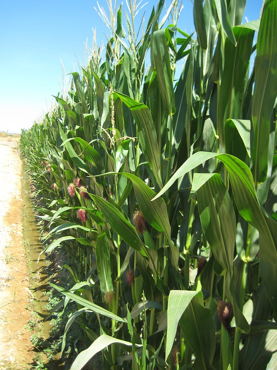 Agriculture, Corn, Harvest, Cereals