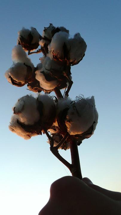 Cotton, Harvest, Agriculture, Field, Crop, Farm