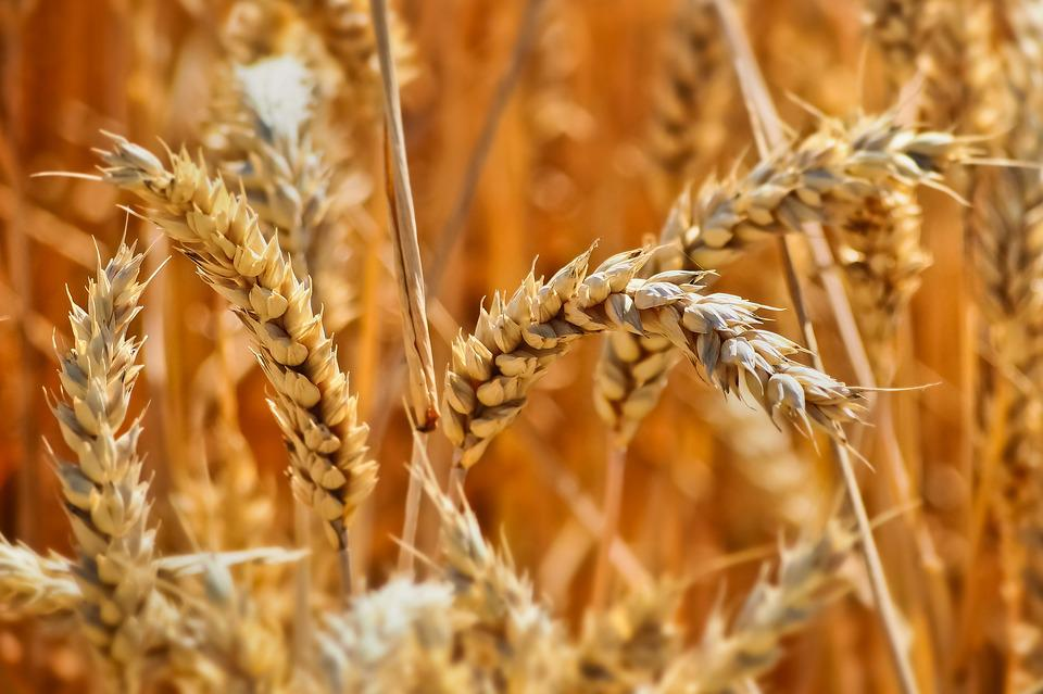 Field, Wheat, Summer, Harvest, Nature, Agriculture