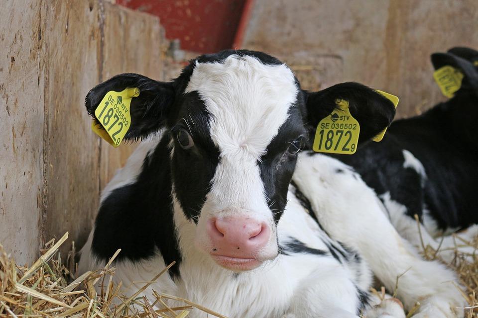 Calf, Lowland, Ko, Milk, Barn, Farmer, Agriculture