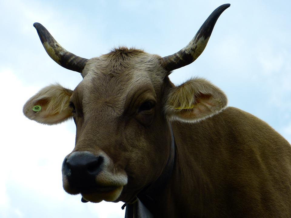 Cow, Beef, Animal, Milk Cow, Horns, Agriculture