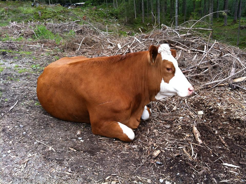 Cow, Animal, Rest, Nature, Agriculture