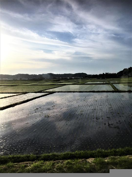 Rice Paddy, Rice Field, Agriculture, Landscape, Nature