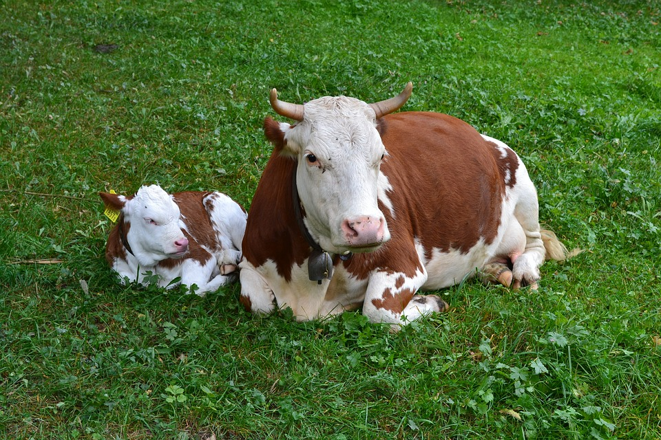 Cow, Calf, Agriculture, Cute, Rindvieh Livestock