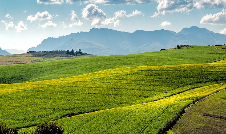 Canola Fields, Green, Rolling Hills, Agriculture, Farm