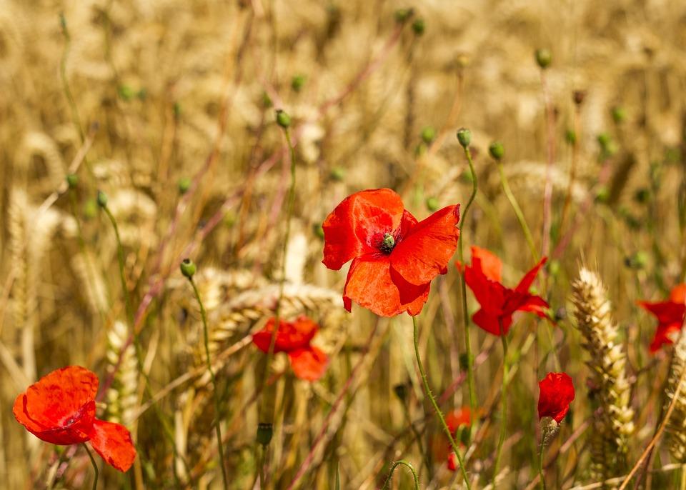 Poppies, Barley, Agriculture, Season, Growth, Corn
