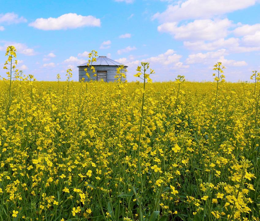 Canola, Canola Field, Grain Bin, Agriculture, Sky