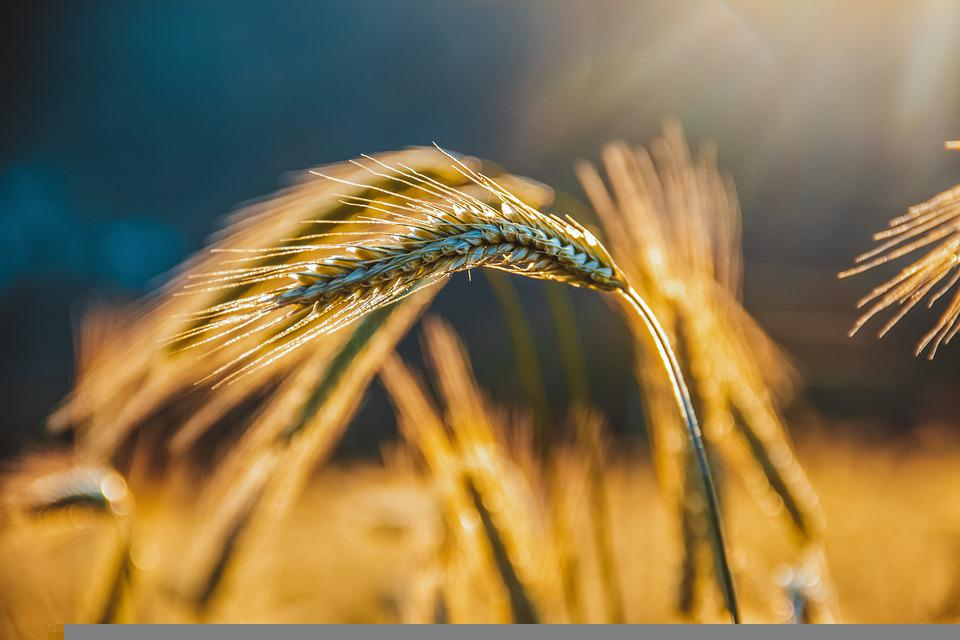 Grain, Rye, Spikelets, Agriculture, Wheat Field