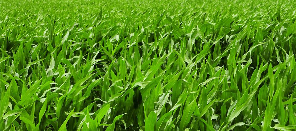 Cornfield, Summer, Agriculture, Landscape, Field