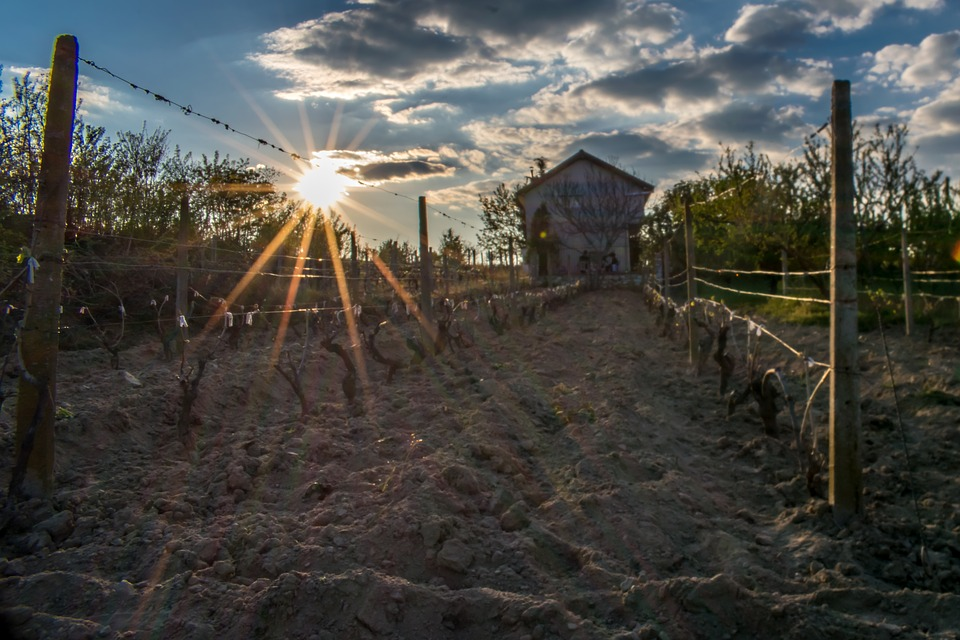 Sun, Vineyard, Harvest, Agriculture, Winery, Country