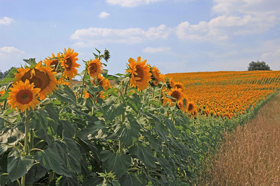 Sunflower, Sunflower Field, Field, Agriculture, Flowers
