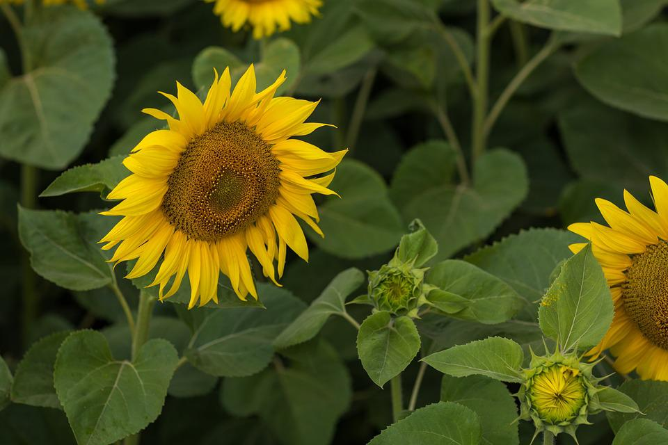 Sunflower, Field, Summer, Agriculture, Yellow, Nature