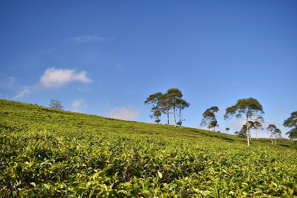 Tea Plantation, Tea, Landscape, Agriculture, Asia