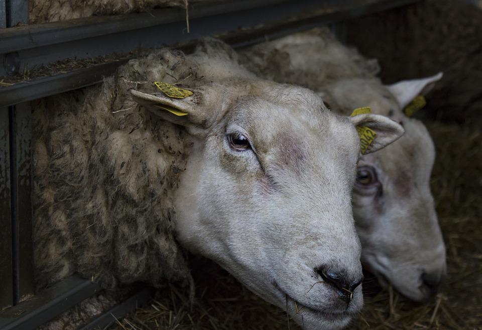 Both, Texel, May, Agriculture, Wool