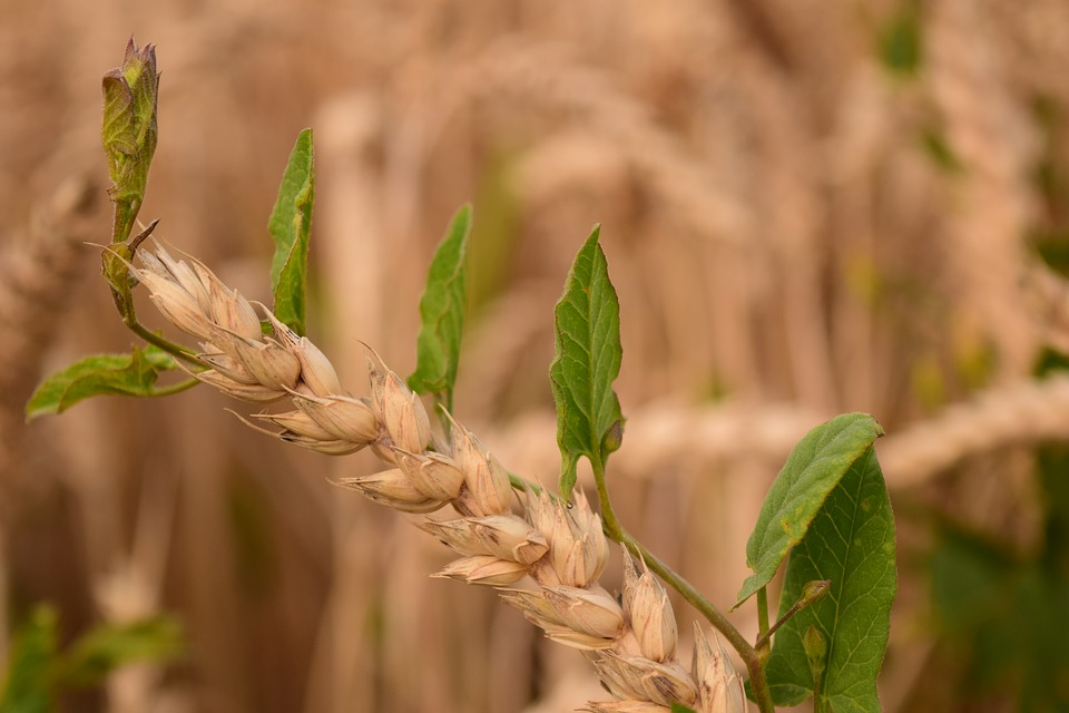 Wheat, Close, Weed, Weed Destruction, Agriculture