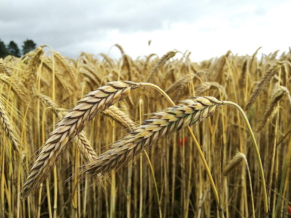 Wheat, Cereals, Wind, Field, Nature, Agriculture