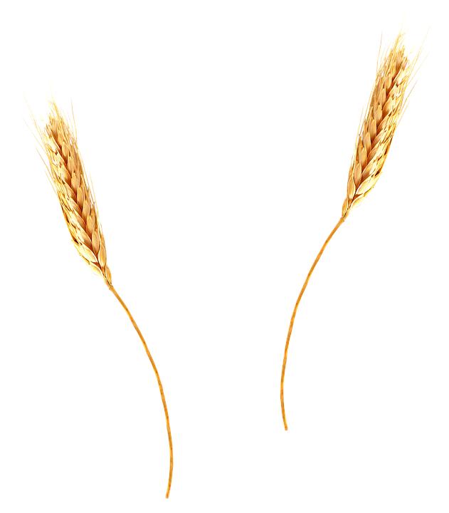 Wheat, Agriculture, Barley, Spikes, Isolated