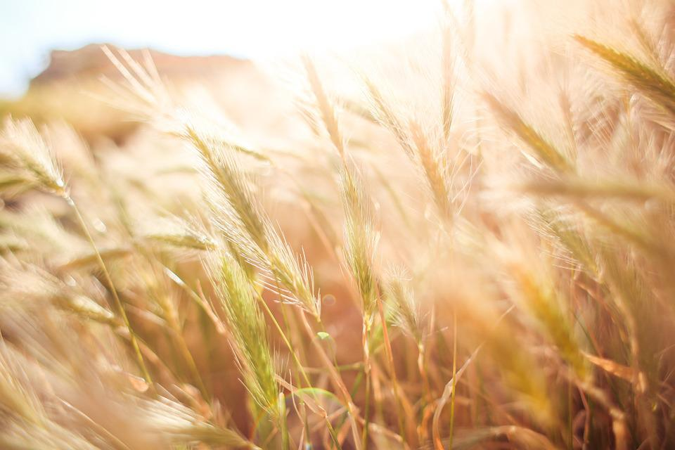 Wheat, Field, Agriculture, Zen, Tranquility, Peaceful