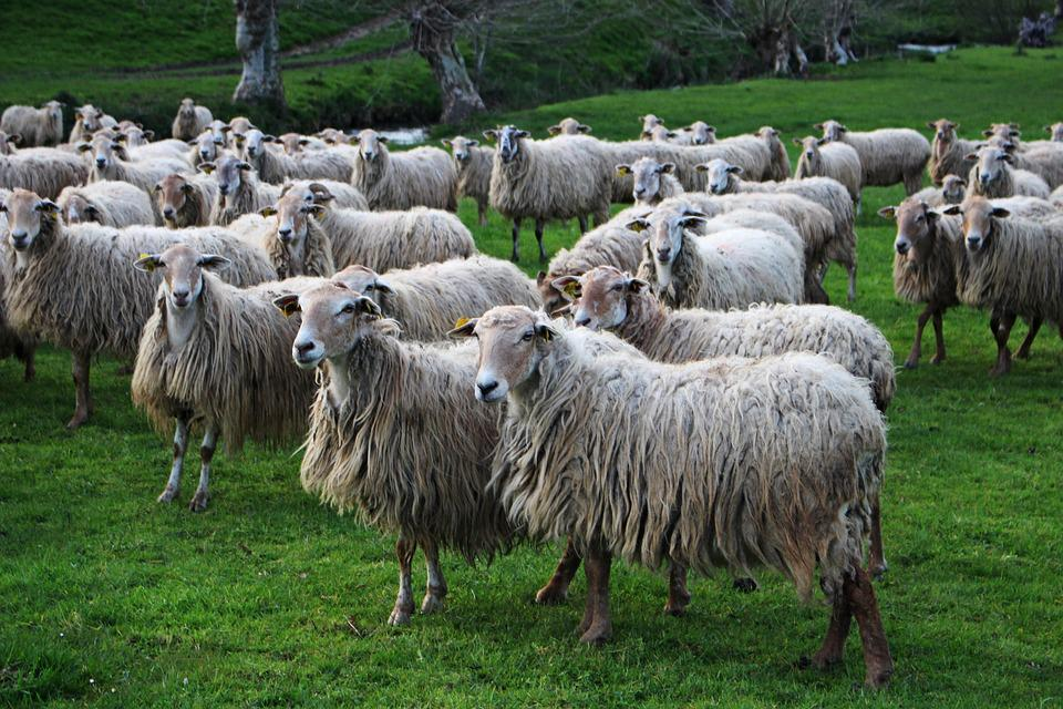 Sheep, Livestock, Agro-industry, Wool, Lawn