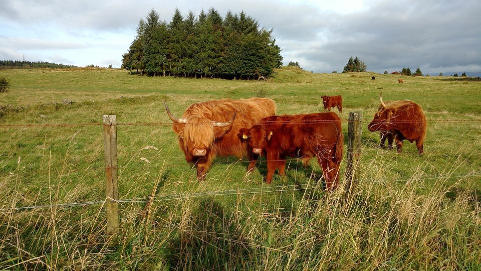 Scottish Cow, Agrofirm, Cattle, Farm, Livestock