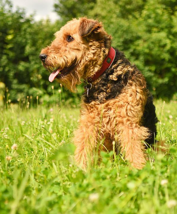 Dog, Airedale Terrier, Pet, Purebred, Airedale, Race