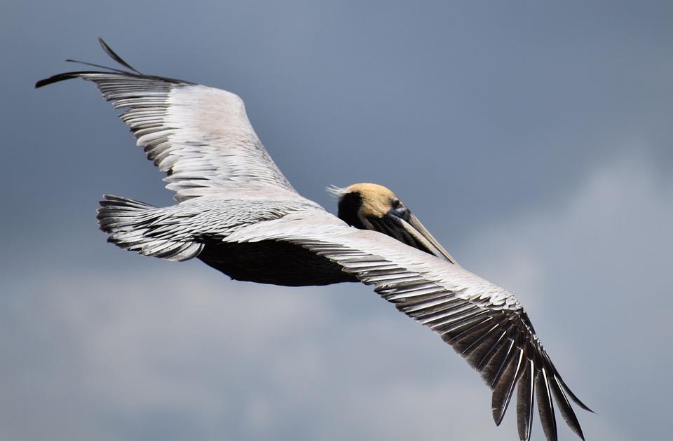 Pelican, Mobile Bay, Bird, Alabama, Blue Mobile