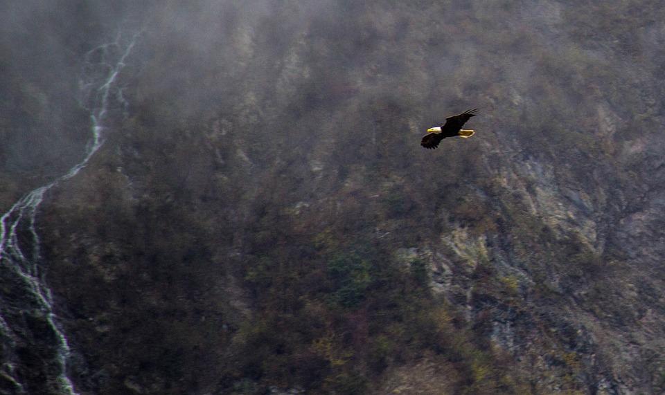 Eagle In Alaska, Flying Eagles, Alaska Eagle