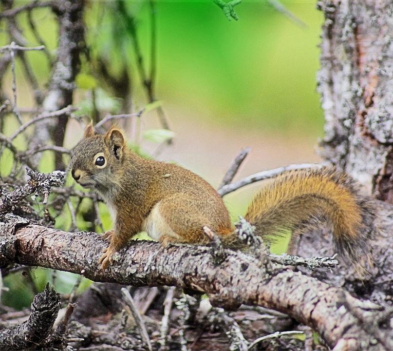 Squirrel, Woods, Alaska, Forest, Nature, Wildlife
