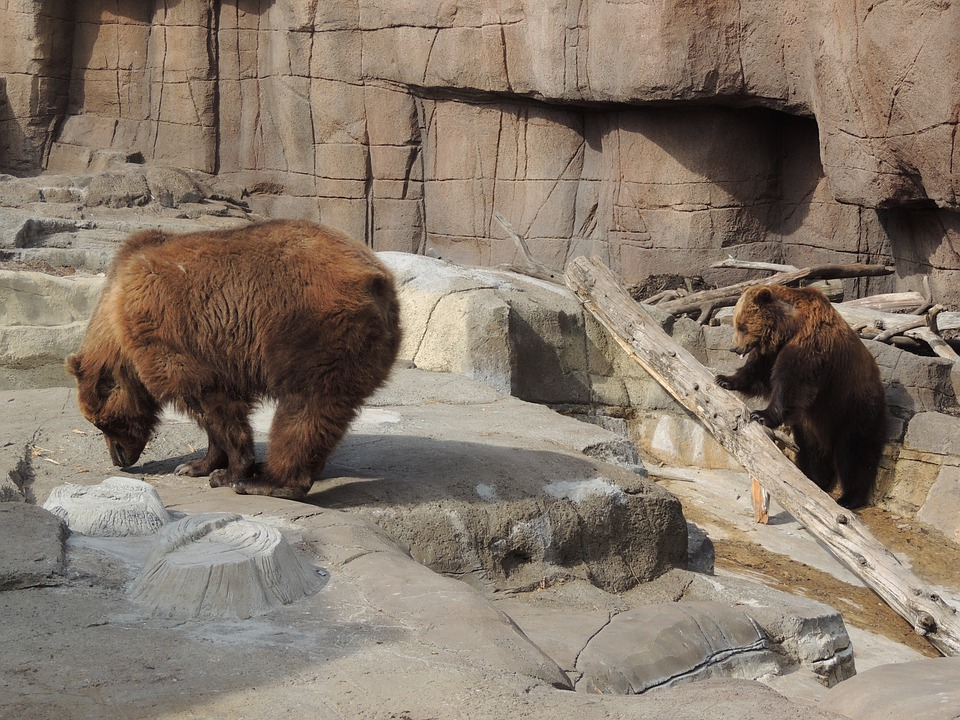 Alaskan Brown Bear, Brown Bear, Bear, Zoo, Animal