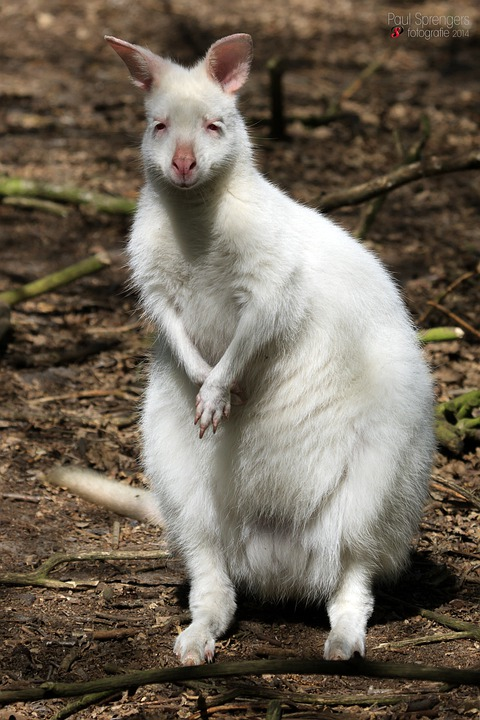 Albino Waliby, Kangaroo, Nature, Animals, Wild