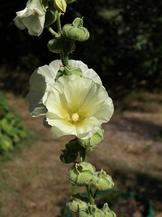 Mallow, Alcea Rosea, Flower, Flowers, Flowering