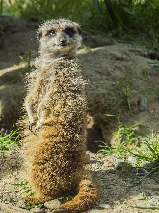 Meerkat, Watchman, Dawn, Look, Alert, Animal, Nature