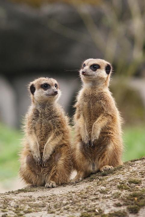 Meerkat, Together, Meeting, Alert, Observation, Watch