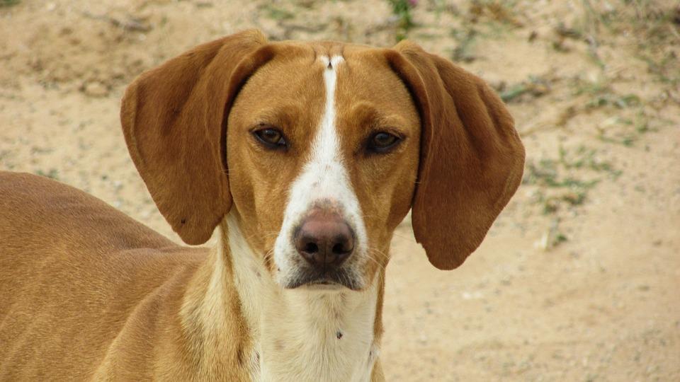 Dog, Vizla, Brown, Stray, Alert, Hunter, Looking