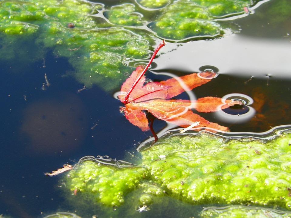 Red, Green, Leaf, Algae, Nature, Pond, Fall