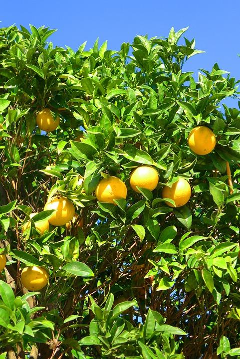 Oranges, Tree, Algarve