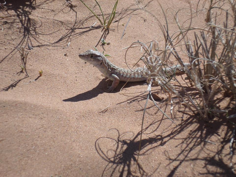 Lizard, Desret, Algeia, Sand