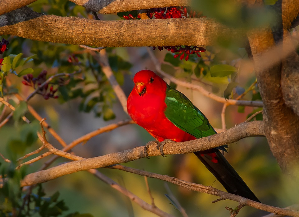 King Parrot, Alisterus Scapularis, Bird, Male, Feather