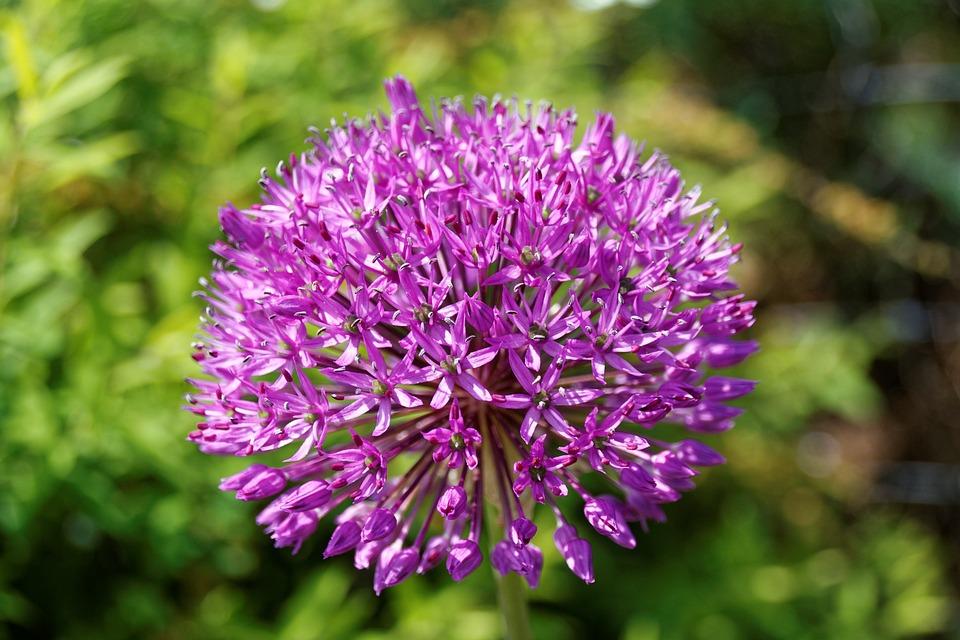 Alium, Leek, Violet, Onion Plant, Purple, Flower, Ball