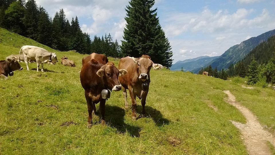 Allgäu, Cow, Cows, Beef, Cattle, Mountains, Summer