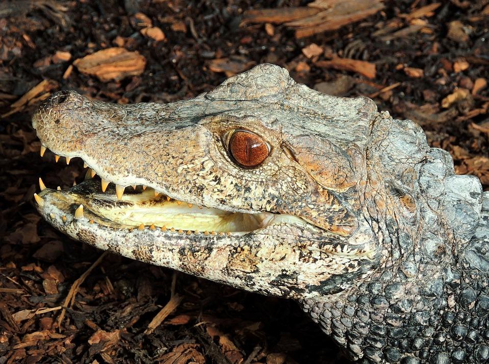 Cayman, Alligator, Reptile, Animal World