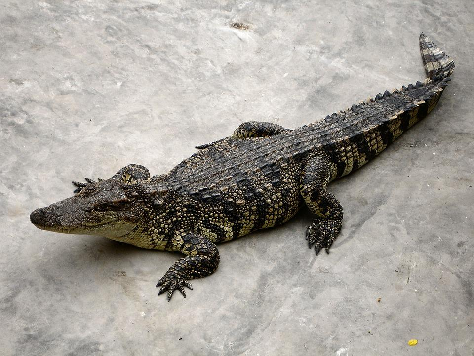 Alligator, Reptile, Dangerous, Predator, Crocodile
