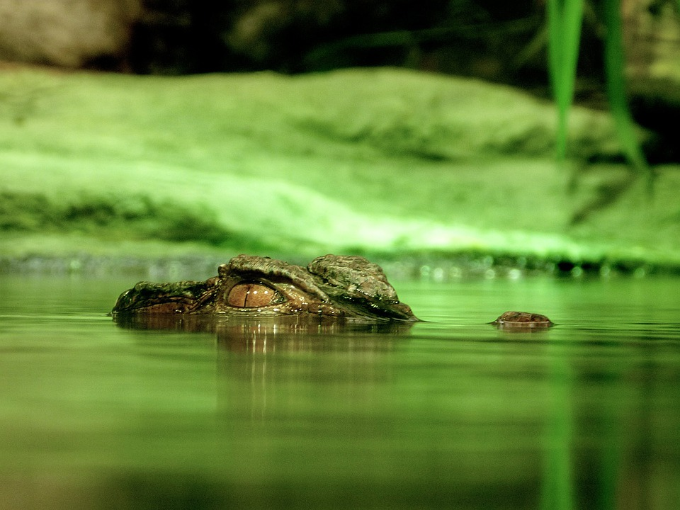 Crocodile, Alligator, Dangerous, Reptile, Water