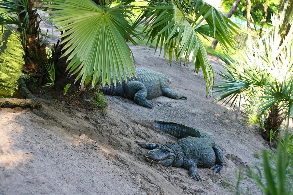 Alligator, Park, Florida, Reptile, Nature, Zoo