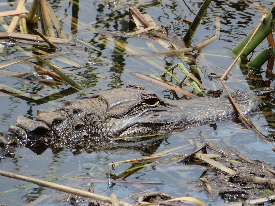 Alligator, Nature, Marsh
