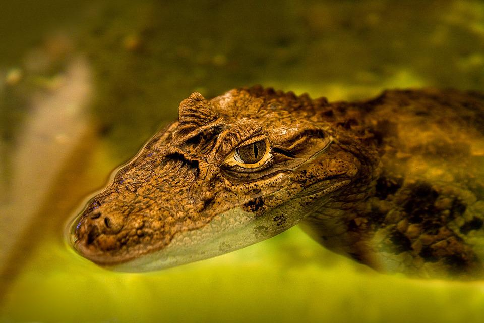 Alligator, Caiman, Cocodrile, Reptile, Nature, Animal